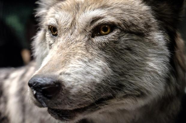 Wolf_DSCF7471_1180