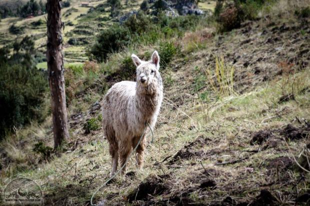 Cusco, Fuji XT20, Lama, Peru_DSCF1107_1180