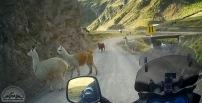 Auf dem Weg zum Rainbow Mountain treffen wir Alpakas ...
